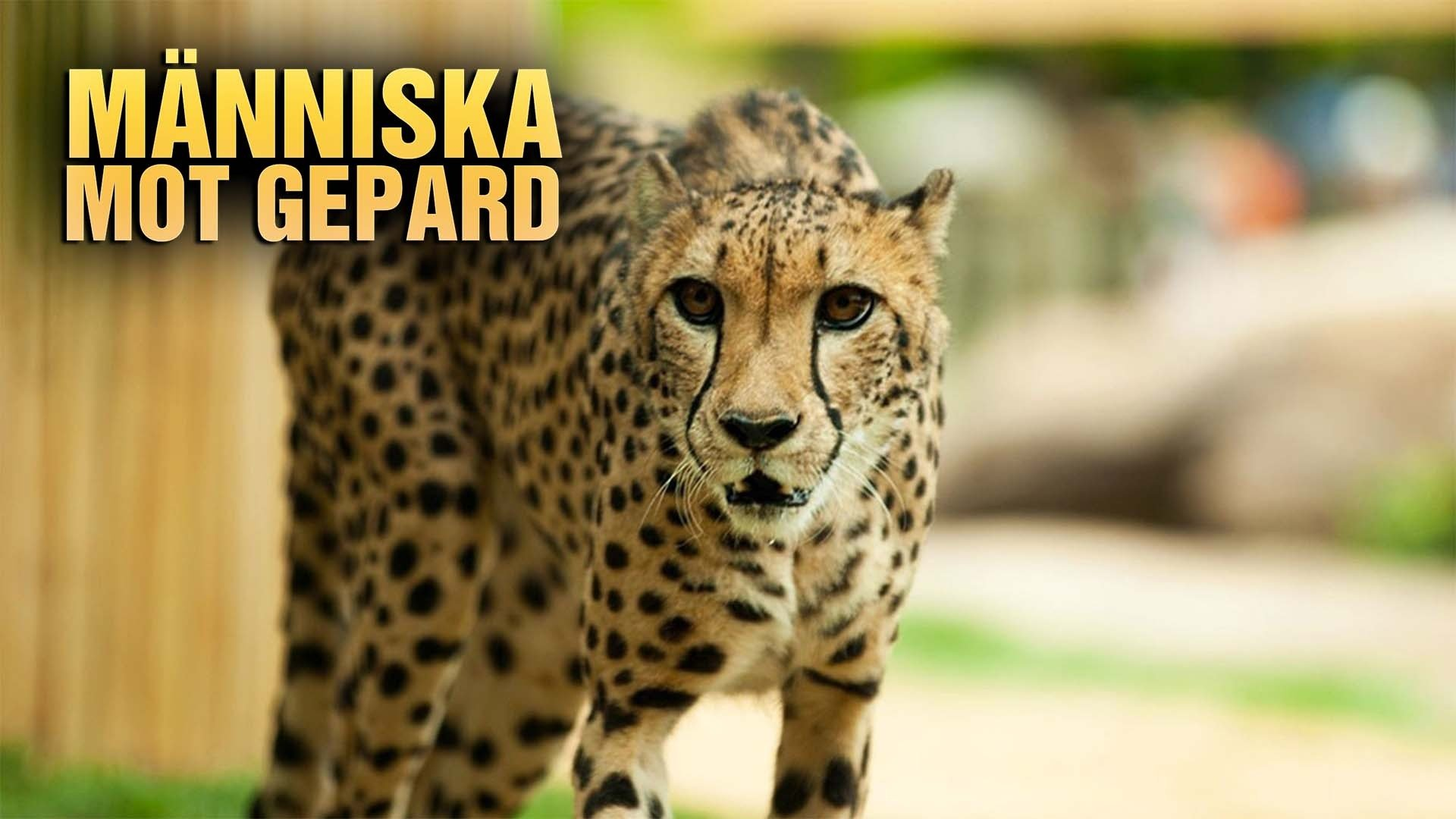 Människa mot gepard