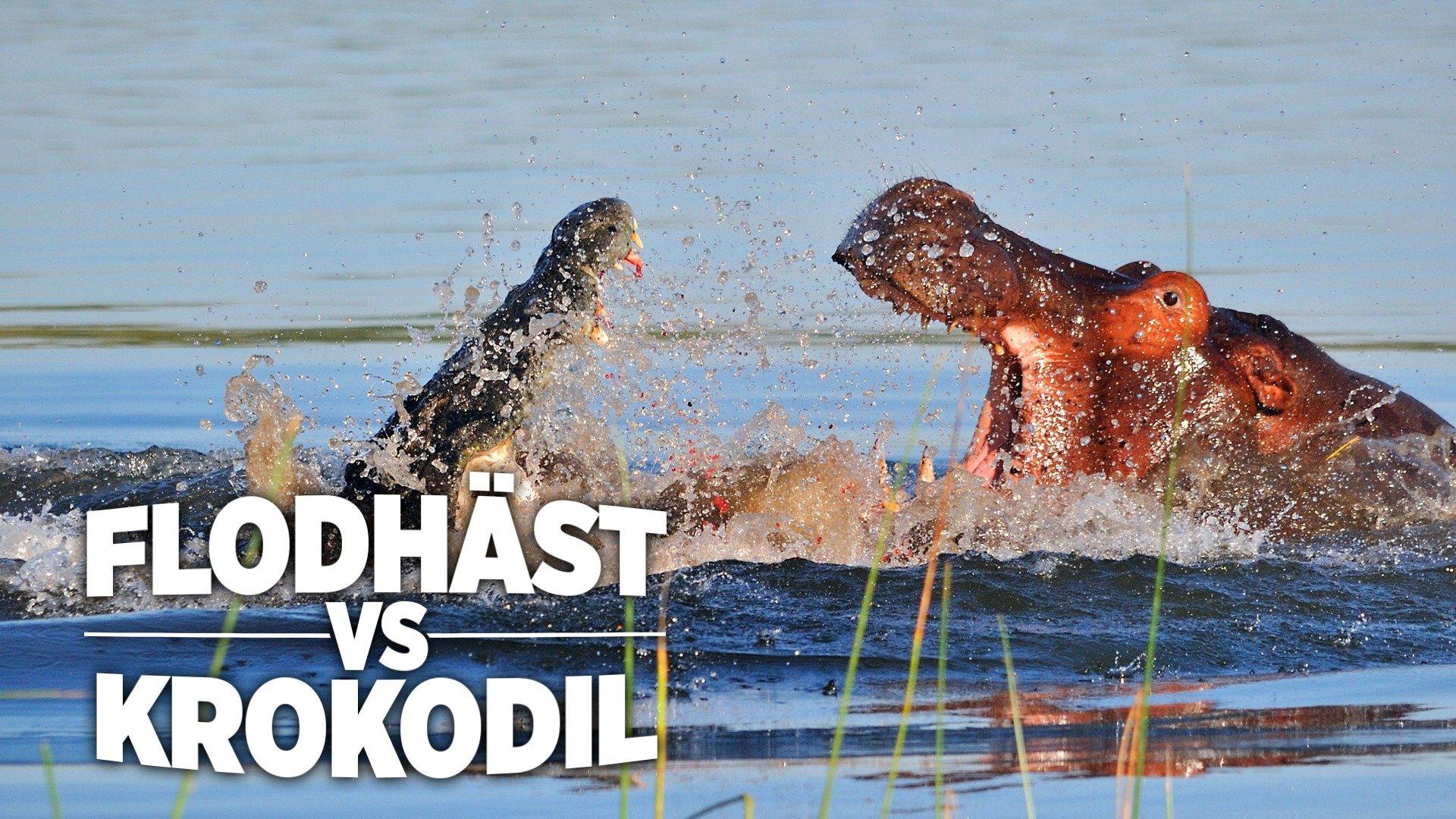 Flodhäst vs krokodil