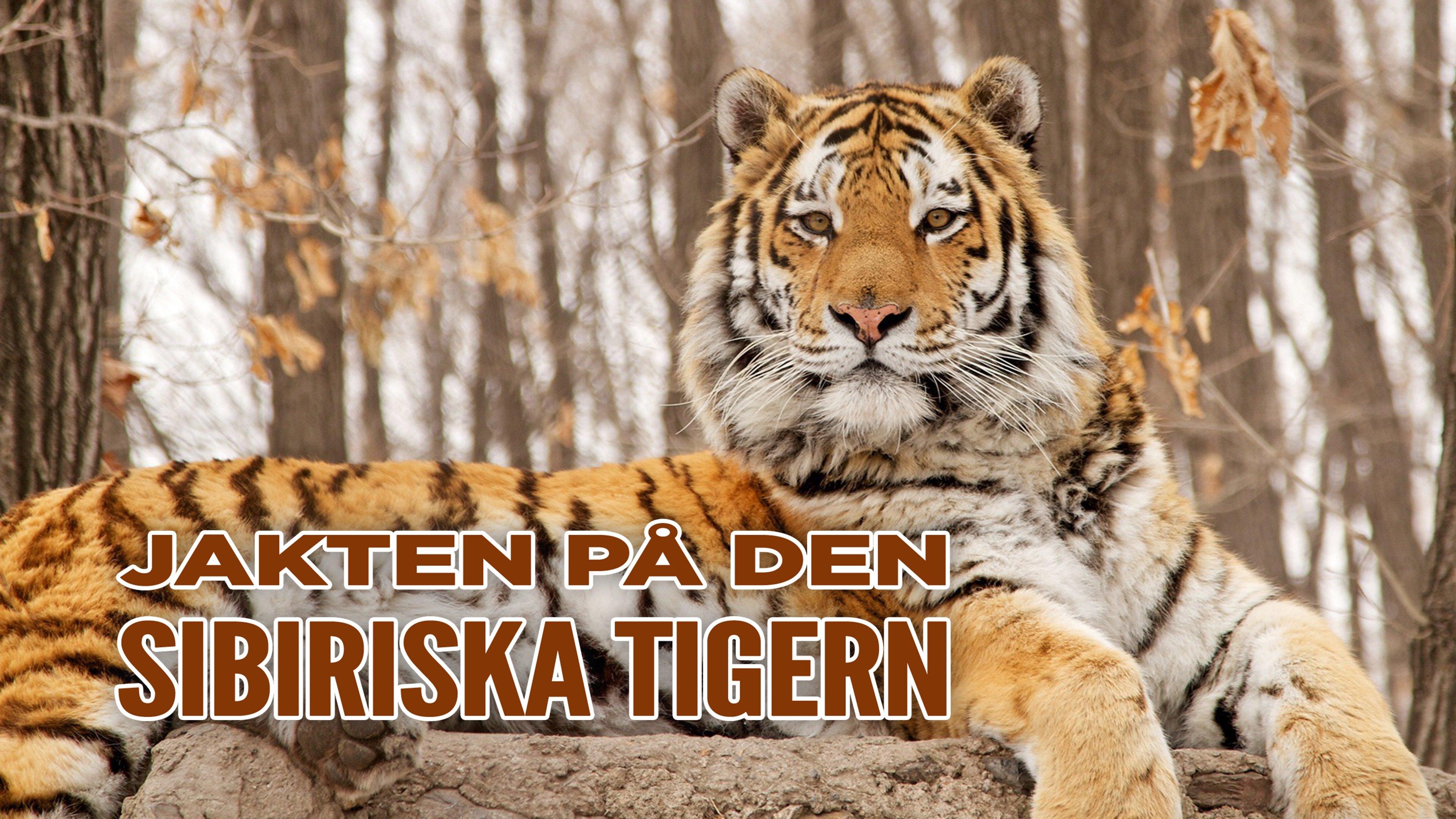 Jakten på den sibiriska tigern