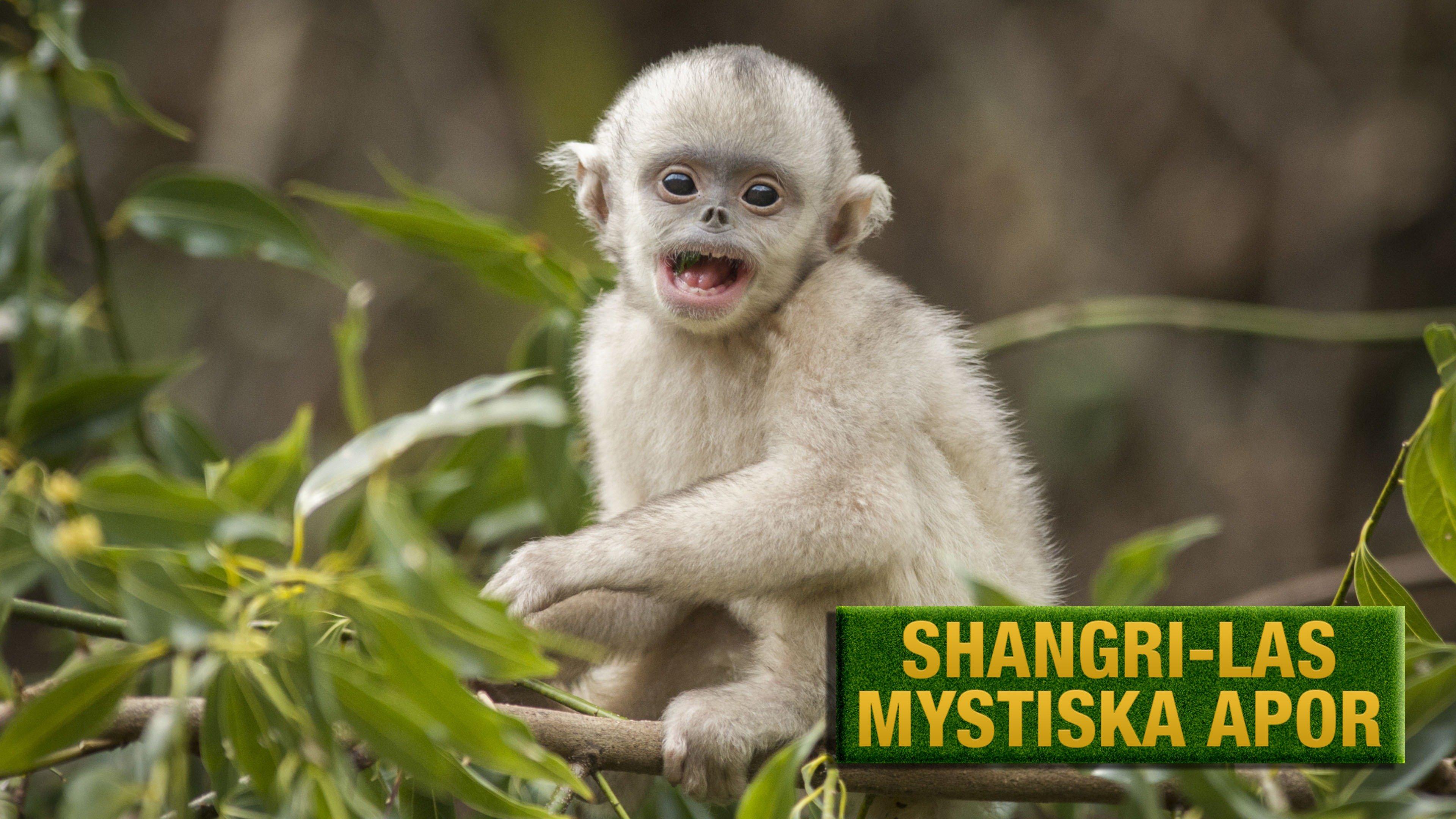Shangri-Las mystiska apor
