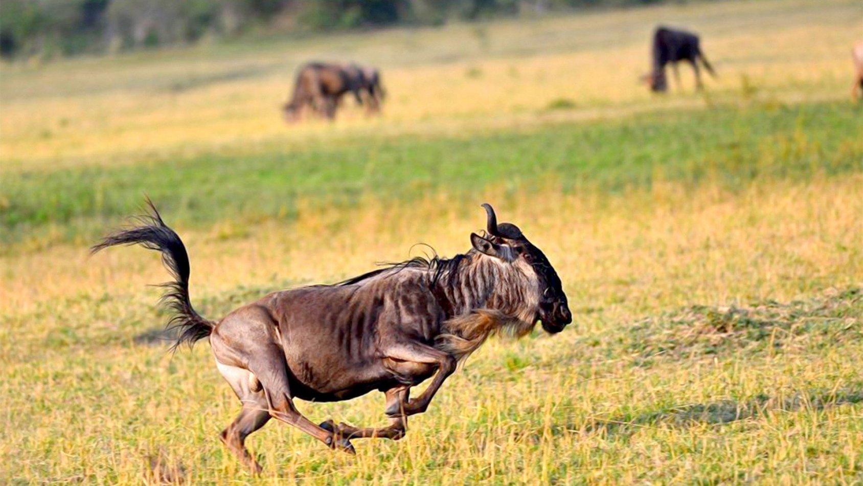 Gnuer: Födda att springa