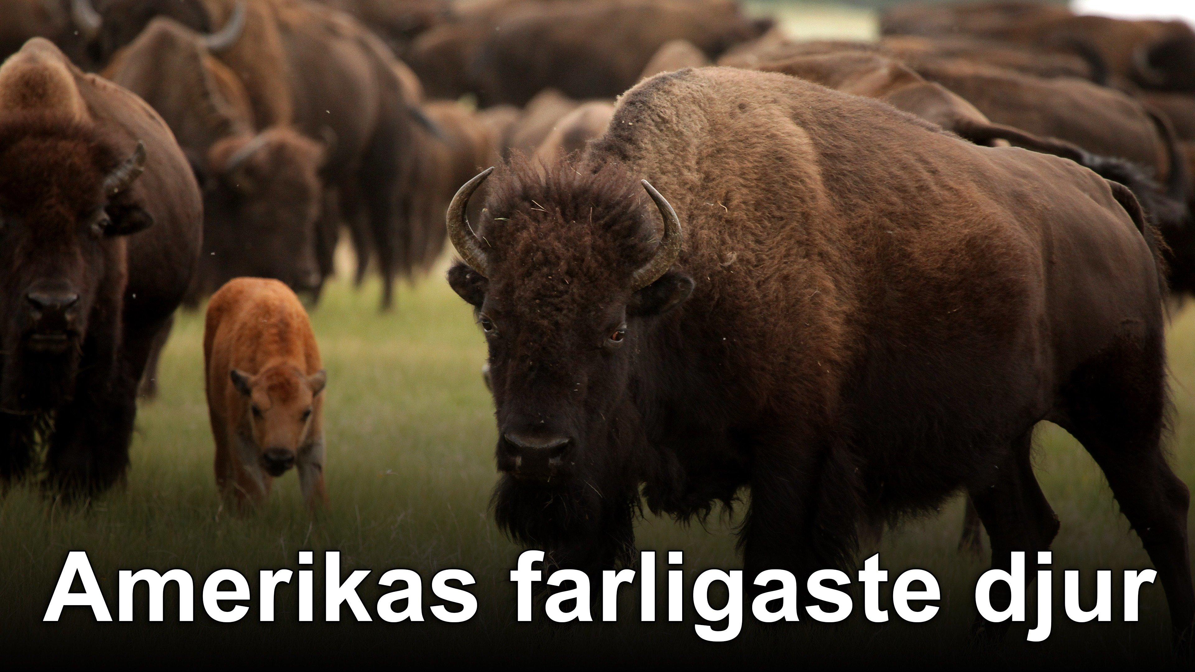 Amerikas farligaste djur