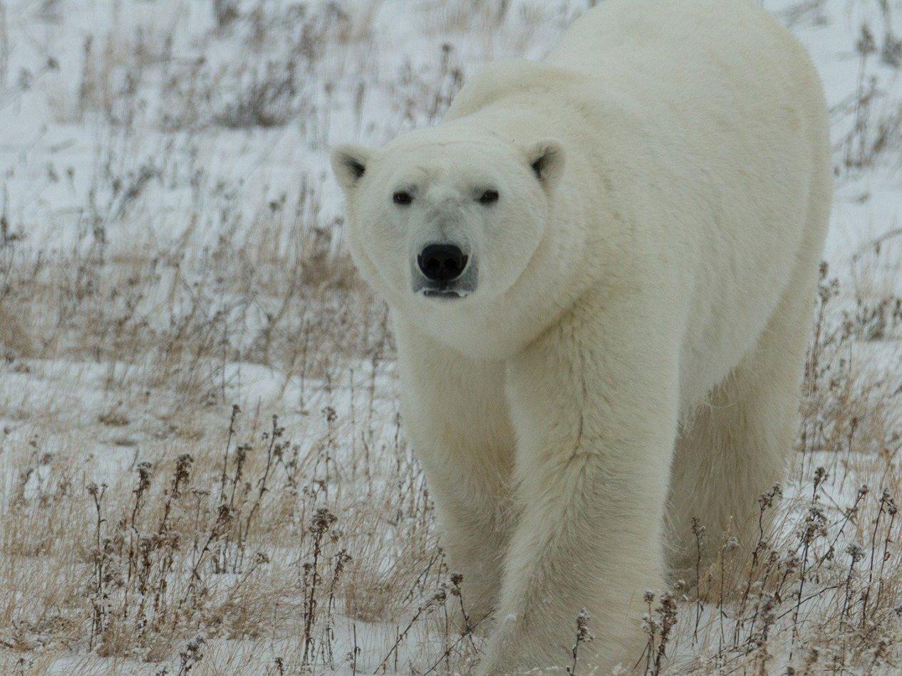 Isbjörnsinvasionen