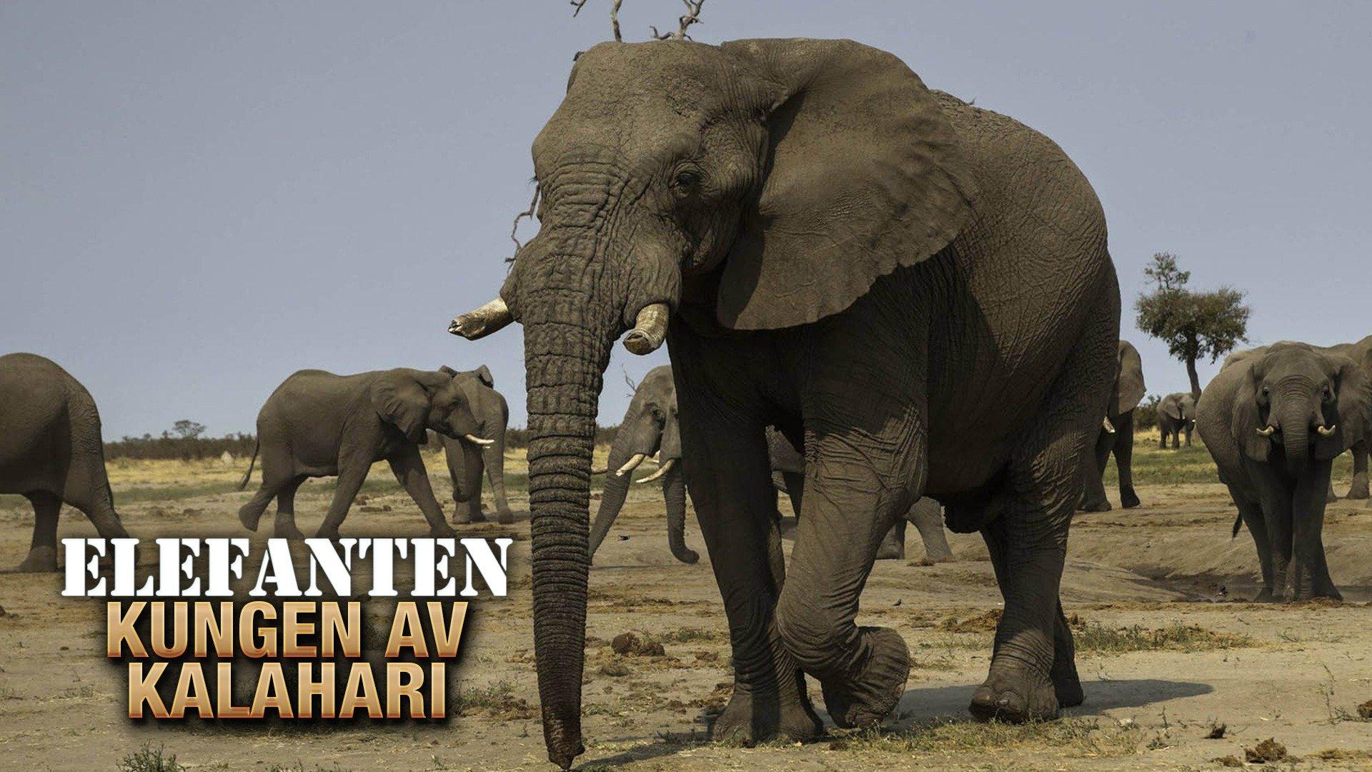 Elefanten: Kungen av Kalahari