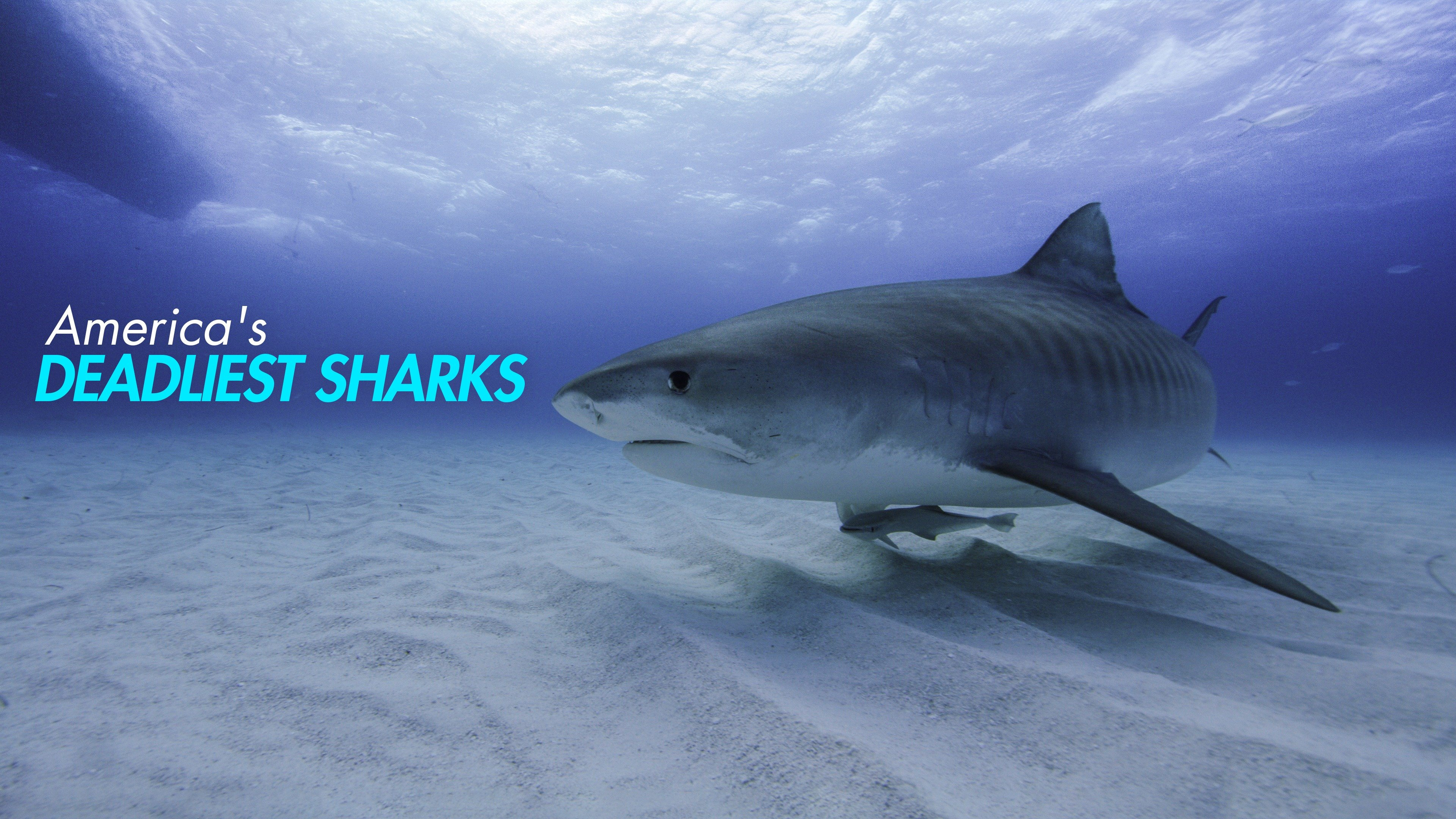 America's Deadliest Sharks