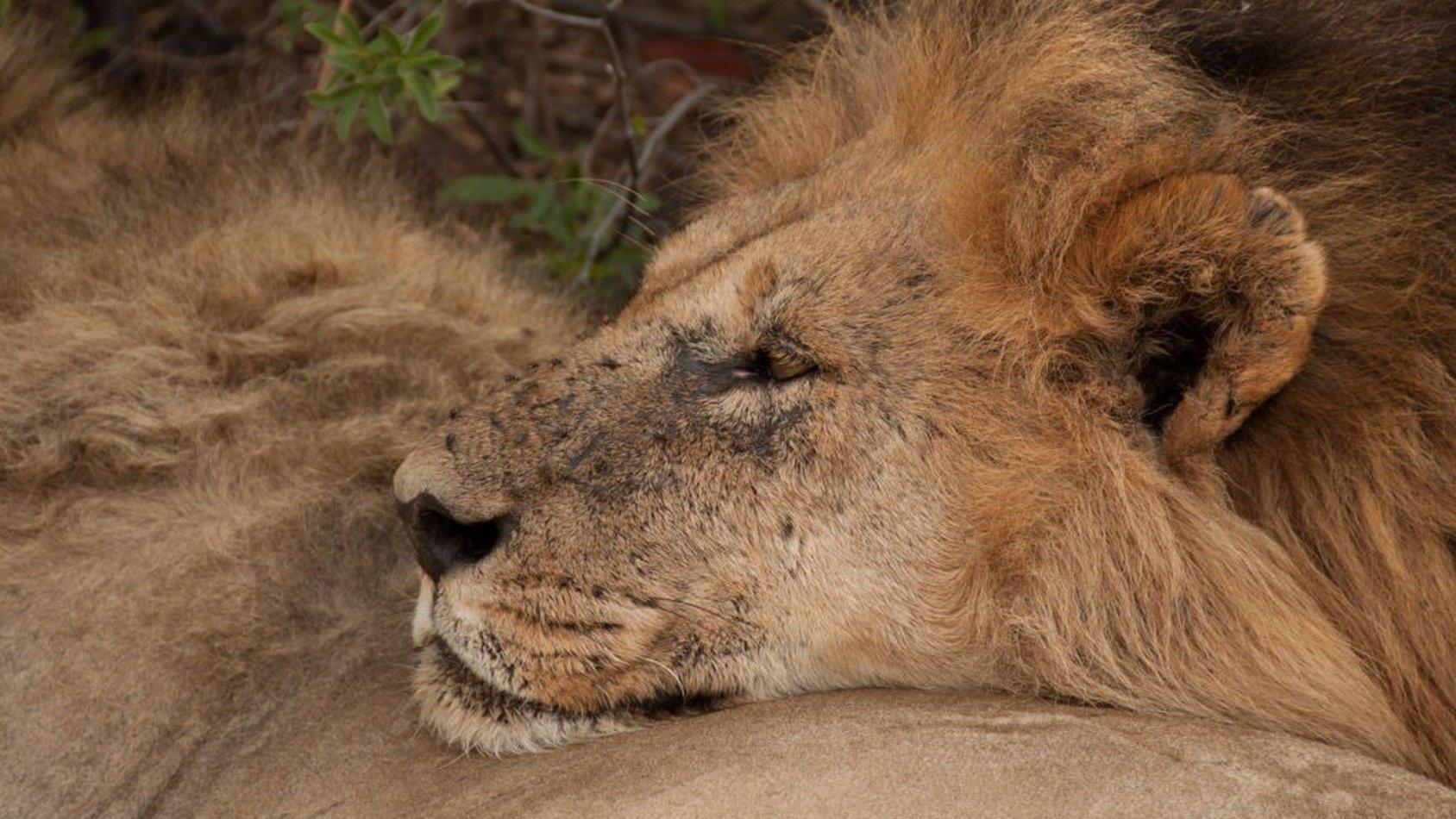 Lejonbröder: Från ungar till kungar