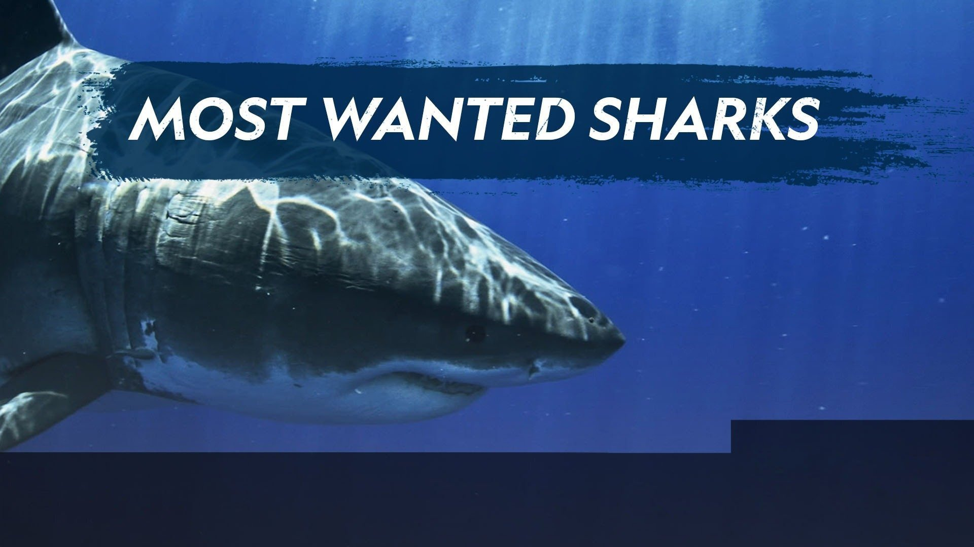 Most Wanted Sharks