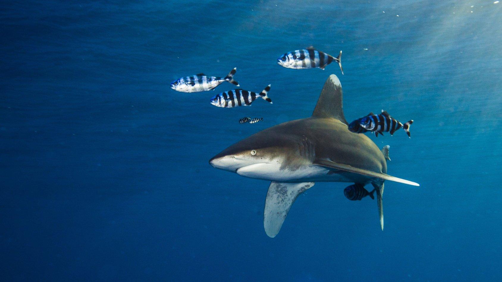 Årfenhajen - den skeppsbrutna hajen