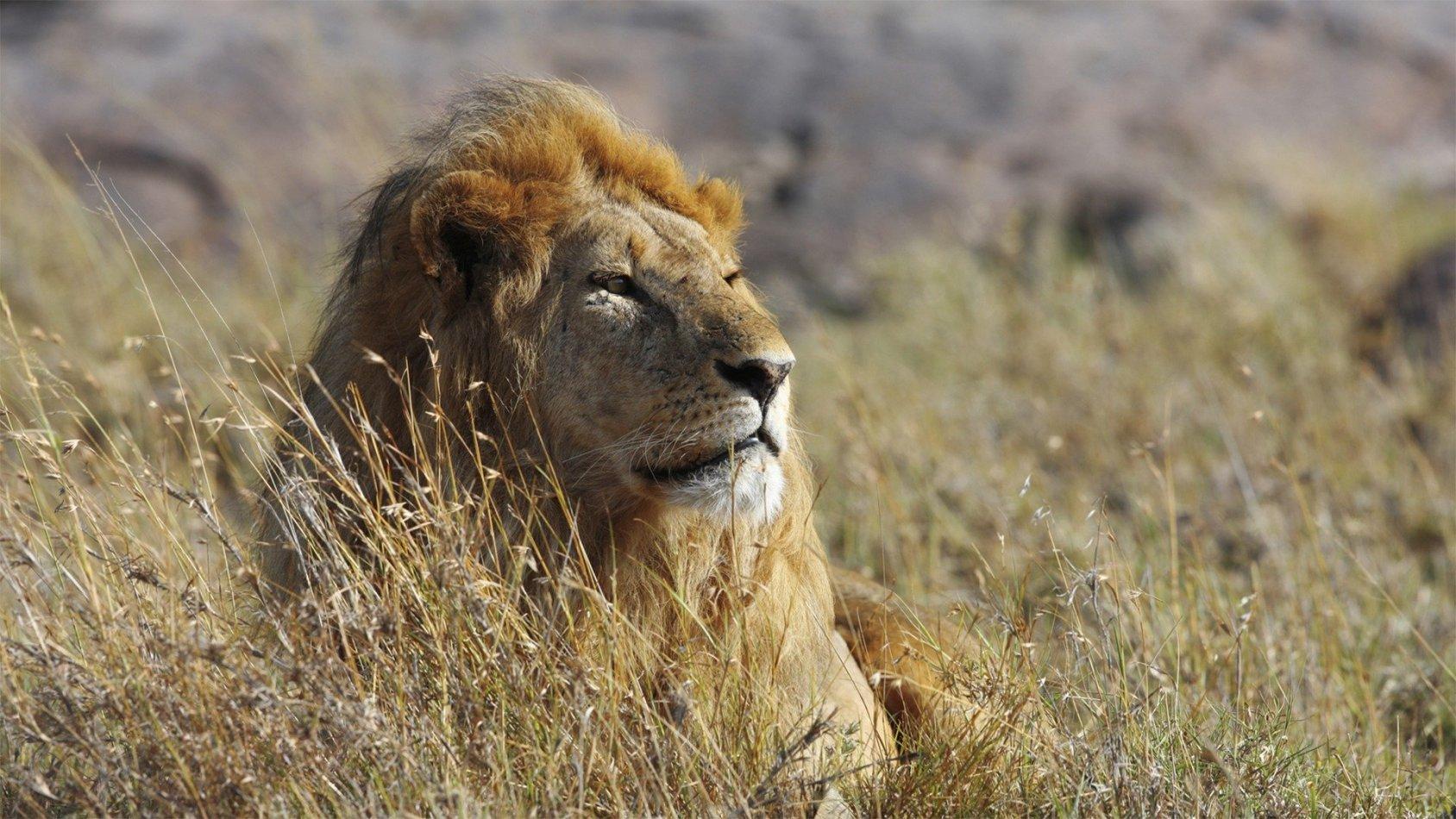 Kattkrig: Lejon vs gepard